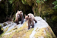 Two bear cubs playing