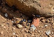Balbyter Ants