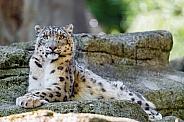 Snow Leopard on Rocks.