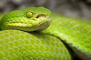 White-lipped pit viper
