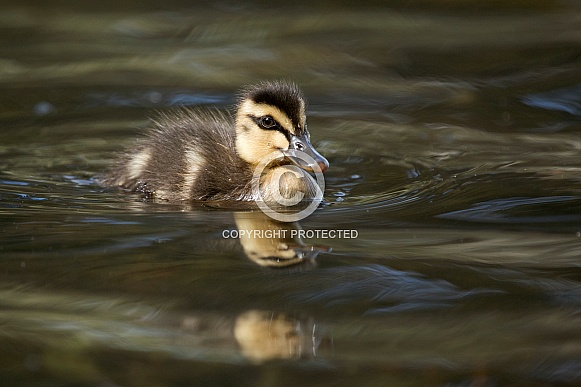Pacific black duckling (wild).