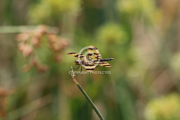 Graphic Flutterer Dragonfly