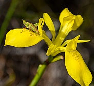 Twospur Bush Hopper