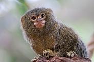 Pygmy Marmoset Callithrix (Cebuella) pygmaea