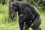 Chimpanzee Mother Walking With Baby