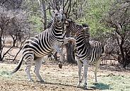 Zebra, Kruger RSA