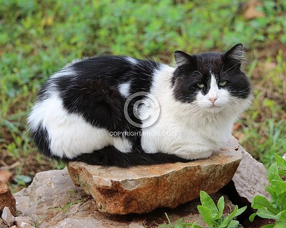Fluffy Tuxedo Cat