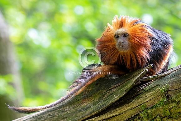 Golden head lion tamarin