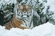 Amur Tiger in the Snow