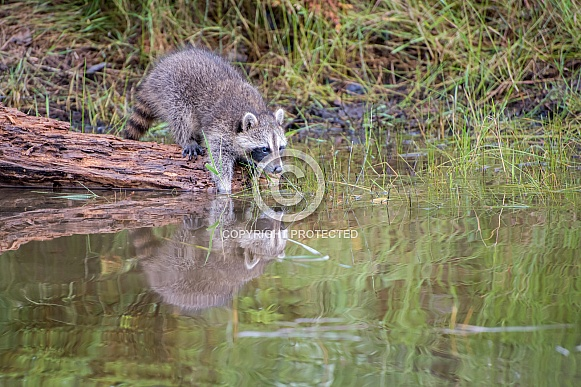 Raccoon Baby Reflection- 2 Months Old