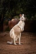 Albino Kangaroo 4