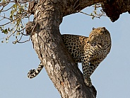 Leopard Kruger National Park SA Wild