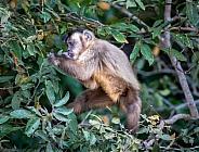Howler Monkey Eating