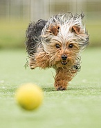 Yorkshire Terrier Chasing Ball