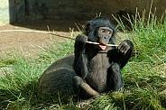 Baby Bonobo