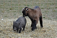 Miniature Pig and Jung goat