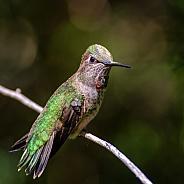 Hummingbird - Anna's Female Sitting Pretty