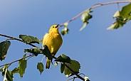 Male Yellow Warbler Singing in Alaska