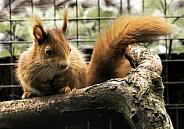 Red Squirrel Full Body On Branch