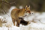 Red fox in wintertime