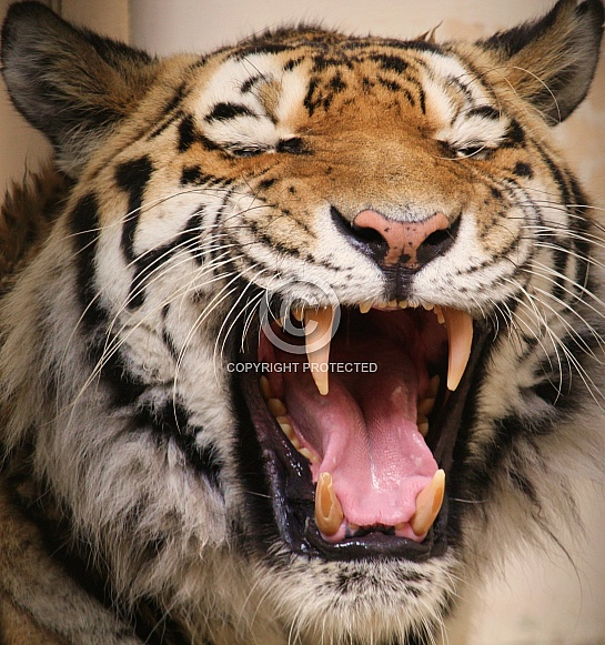 Amur Tiger Fangs