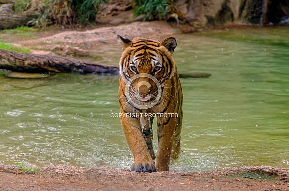 Tiger - Emergence