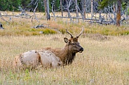 Young Bull Elk in Meadow