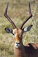 Young Male Impala - Kaokoland - Namibia
