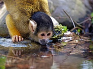 water drinking squirrel monkey