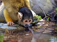 water drinking squirrel monkey