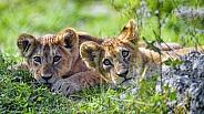 Pair of Lion Cubs