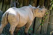 Young Rhino.