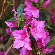 Deep Pink Rhododendron Close Up