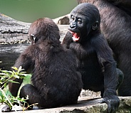 Gorilla youngsters