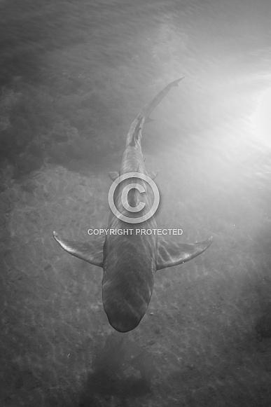 Lemon Shark - Black and white