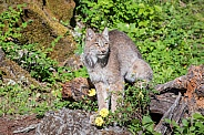 Canada Lynx and Wild Roses