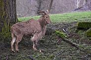 Aoudad, Barbary Sheep