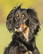 Black and Tan Saluki