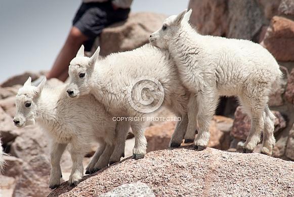 Three wild mountain goat kids
