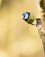 Blue Tit on Tree Trunk
