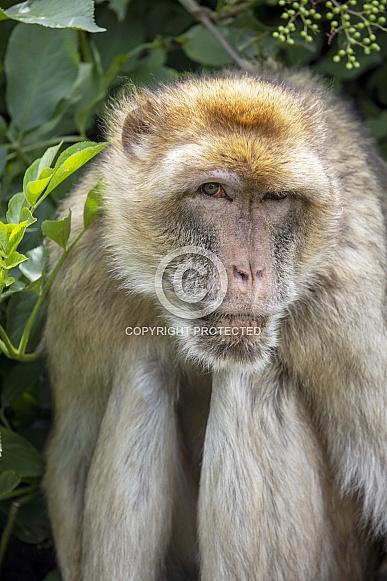 Barbary macaque (Macaca sylvanus) in natural habitat