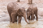 Two Young Asiatic Elephants In Water