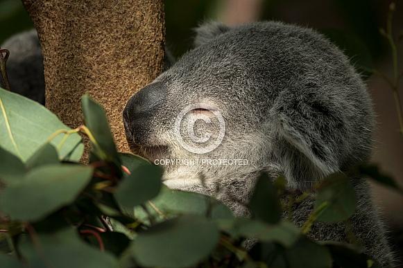 Koala Sleeping Close Up
