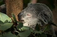 Koala Sleeping Close Up
