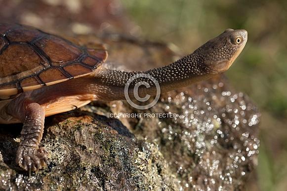 Eastern snake-necked turtle.
