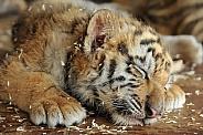 Sleeping Siberian Tiger Cub