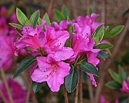Deep Pink Rhododendron Flowers