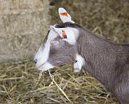 Toggenburg Goat