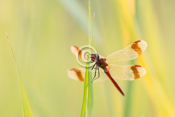 Banded Darter (Dragonfly)