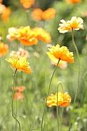 Orange poppies, backlit